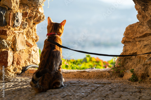 Fototapeta The cat sits on a leash and looks into the distance through a hole in a stone wall
