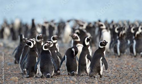 Photo King Penguin (Aptenodytes patagonicus) on a beach in Royal Bay, A penguin colony