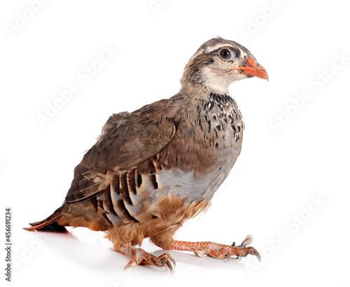Fotografie, Obraz Red-legged partridge