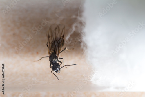 Fotografering Queen of Tapinoma magnum in a test tube is preparing to found the colony