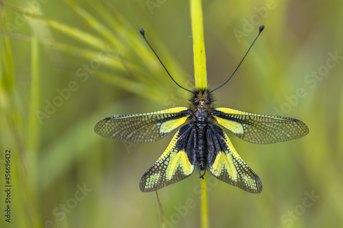 Fototapeta premium Owly sulphur insect