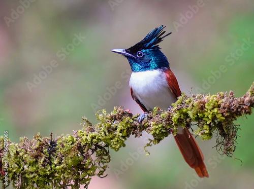 Fototapeta premium Asian Paradise-flycatcher or Terpsiphone paradise