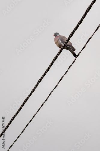 Fototapeta premium Pigeon sitting on insulated wires.