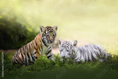 Fotografie, Obraz two young bengal tiger cubs resting on grass, close up portrait