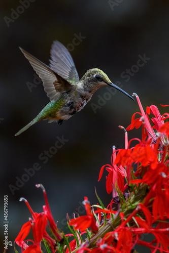Fototapeta premium Closeup shot of a beautiful hummingbird flying by a red flower
