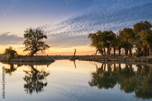 Fotografie, Obraz old poplar trees by the pond in autumn dusk