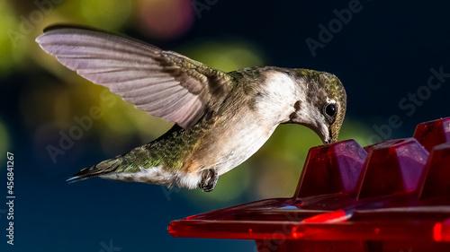 Fototapeta premium Female Ruby Throated Hummingbird at a feeder