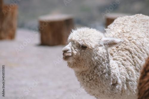 Fototapeta premium baby alpaca outdoors