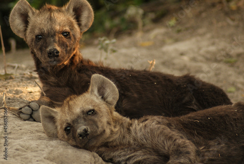 Fototapeta hyena babies