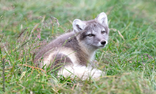 Fototapeta premium Very young polar fox