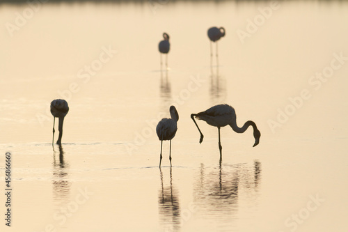 Leinwand Poster Greater Flamingo Phoenicopterus roseus from Camargue, southern France