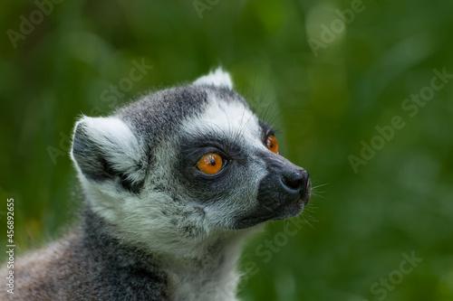 Fototapeta premium Portrait of ring-tailed lemur