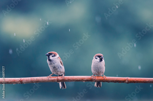 Photo two small funny birds sparrows are sitting on a branch in the garden under the a