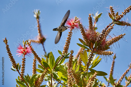 Fototapeta premium Hummingbird eating from the flower of a Callistemon citrinus. Tree known as escobillón or pillo rojo. Celestial sky.