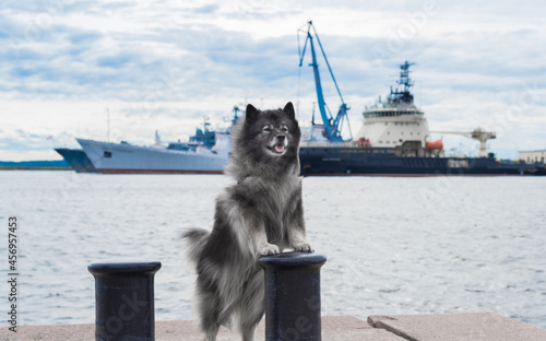 Fotografia, Obraz Keeshond stands on its hind legs, leaning its forepaws on the bollard against th