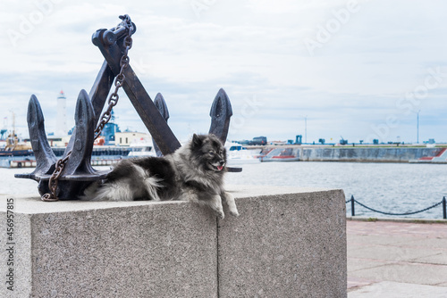 Fotografie, Obraz Keeshond lies on a granite parapet against the background of crossed anchors and