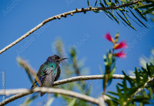 Fototapeta premium hummingbird on a branch