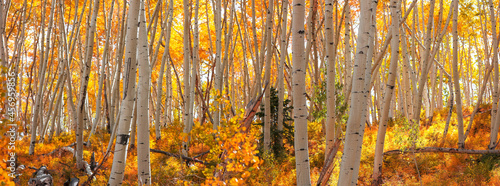 Fotografie, Obraz Row of colorful Aspen trees during autumn time in Colorado
