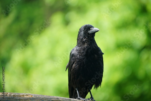 Fototapeta premium crow on a rock