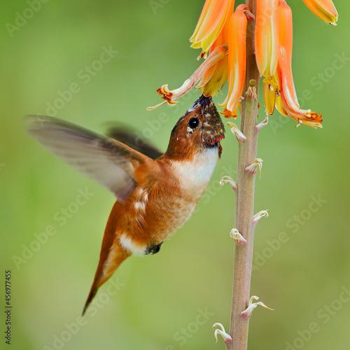Fototapeta premium Rufous hummingbird (Selasphorus rufus) with flower