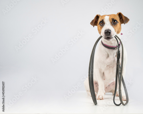Fototapeta Jack russell terrier dog holding a leash on a white background.
