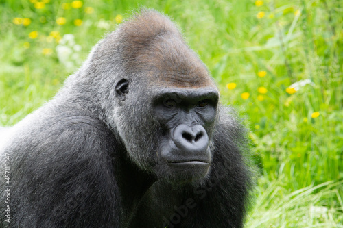 Fototapeta close up of the head and shoulders of a male Western Lowland Gorilla (Gorilla go