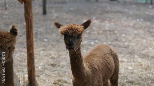 Fototapeta premium Shaved cute llama at the farm