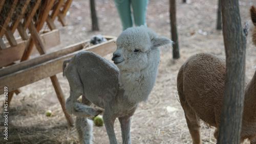Fototapeta premium Shaved cute alpaca at the farm