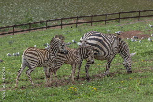 Fototapeta premium Dazzle of zebras grazing by a pond in Cabarceno Natural Park, Spain