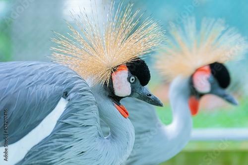 Fototapeta premium grey crowned crane balearica regulorum