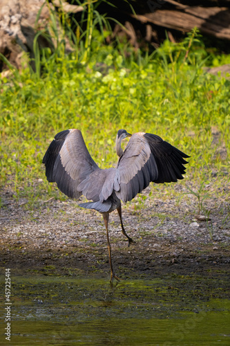 Fototapeta premium great blue heron stretching its wings on the river side