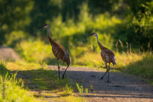 Fototapeta premium two sandhill cranes standing on a dirt refugee road