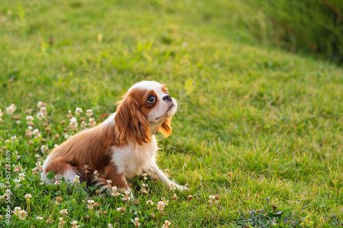 Cuadros en Lienzo Cute cavalier king charles spaniel walking in park on lawn