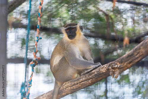 Fotografiet green monkey, chlorocebus sabaeus, in captivity in Spanish zoo, resting and look