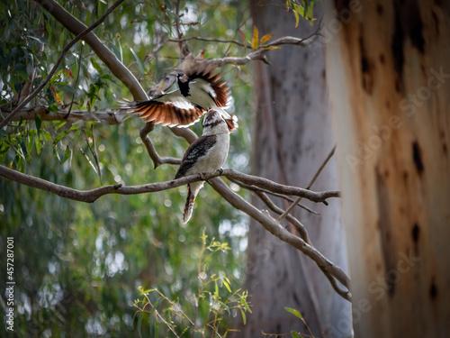 Fototapeta premium Magpie Lark on Top Of Kookaburra