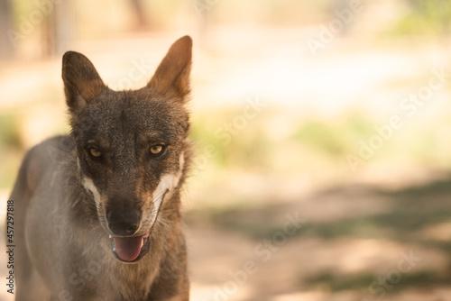 Canvastavla portrait of an iberian wolf, Canis lupus signatus, or canis lupus lupus, in capt