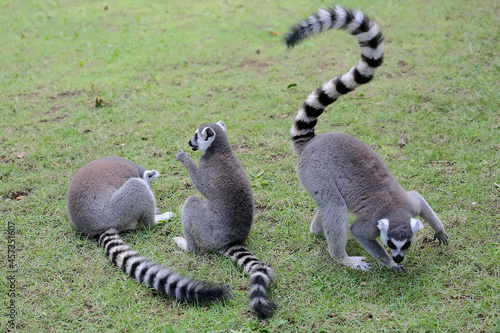 Fototapeta premium Three ring-tailed lemurs playing together. This primate with a natural habitat in Madagascar has the scientific name Lemur catta.