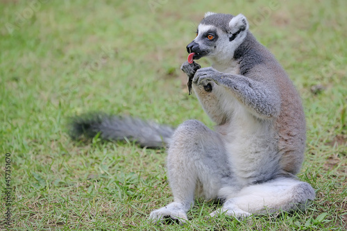 Fototapeta premium A ring-tailed lemur is eating its favorite fruit. This primate with a natural habitat in Madagascar has the scientific name Lemur catta.