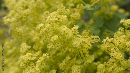 Fotografie, Obraz Yellow flowers of blossoming Alchemilla vulgaris or common lady's mantle