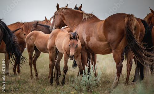Foto Mare and foal herd of American Quarter horses in the Pryor Mountains of Montana
