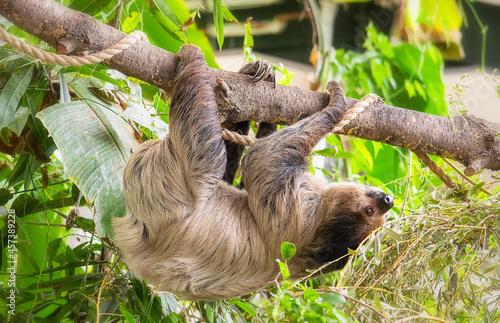 Fototapeta premium Three-toed sloth climbing on the leafy tree