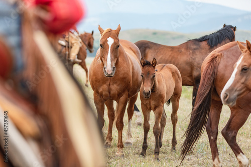 Canvas Mare and foal herd of American Quarter horses in the Pryor Mountains of Montana