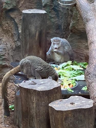 lemur in zoo