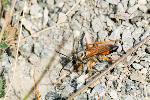 Closeup view from above of a Great Golden Digger Wasp on gravel