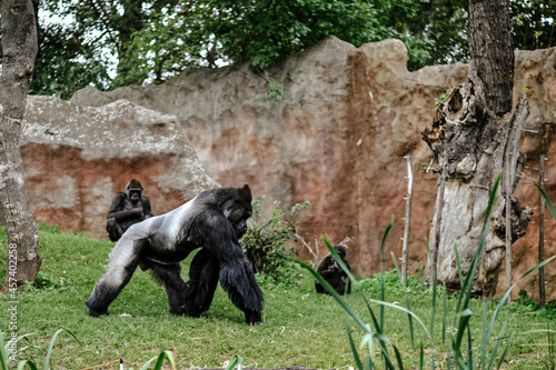 Intelligent animals, gorillas share 98.3% of their DNA