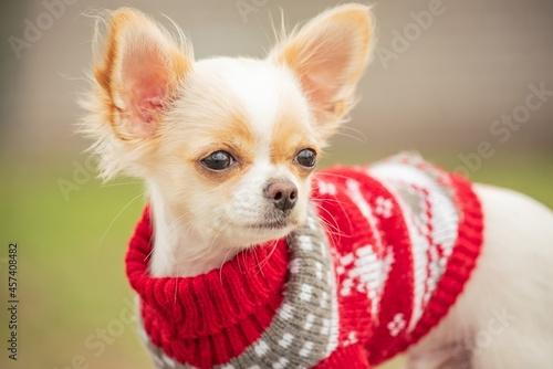 Fotografie, Obraz Portrait of a cute purebred chihuahua in a red sweater in spring