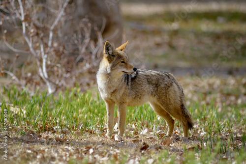 Fototapeta premium Lone coyote (Canis latrans) standing in the grass. Scotty's Castle, Death Valley, California