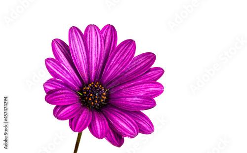 Vászonkép Purple African Daisy Flower..