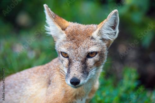 Fototapeta premium portrait of Korsak or steppe Fox (Vulpes corsac), predatory mammal of the genus of foxes of the canine family
