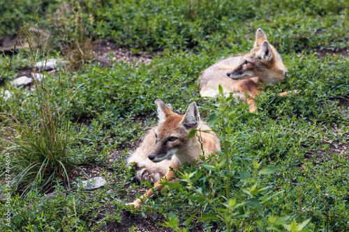 Fototapeta premium resting two Korsak or steppe Fox (Vulpes corsac), predatory mammal of the genus of foxes of the canine family